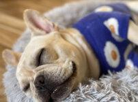 犬服を着て寝る愛犬イメージ2