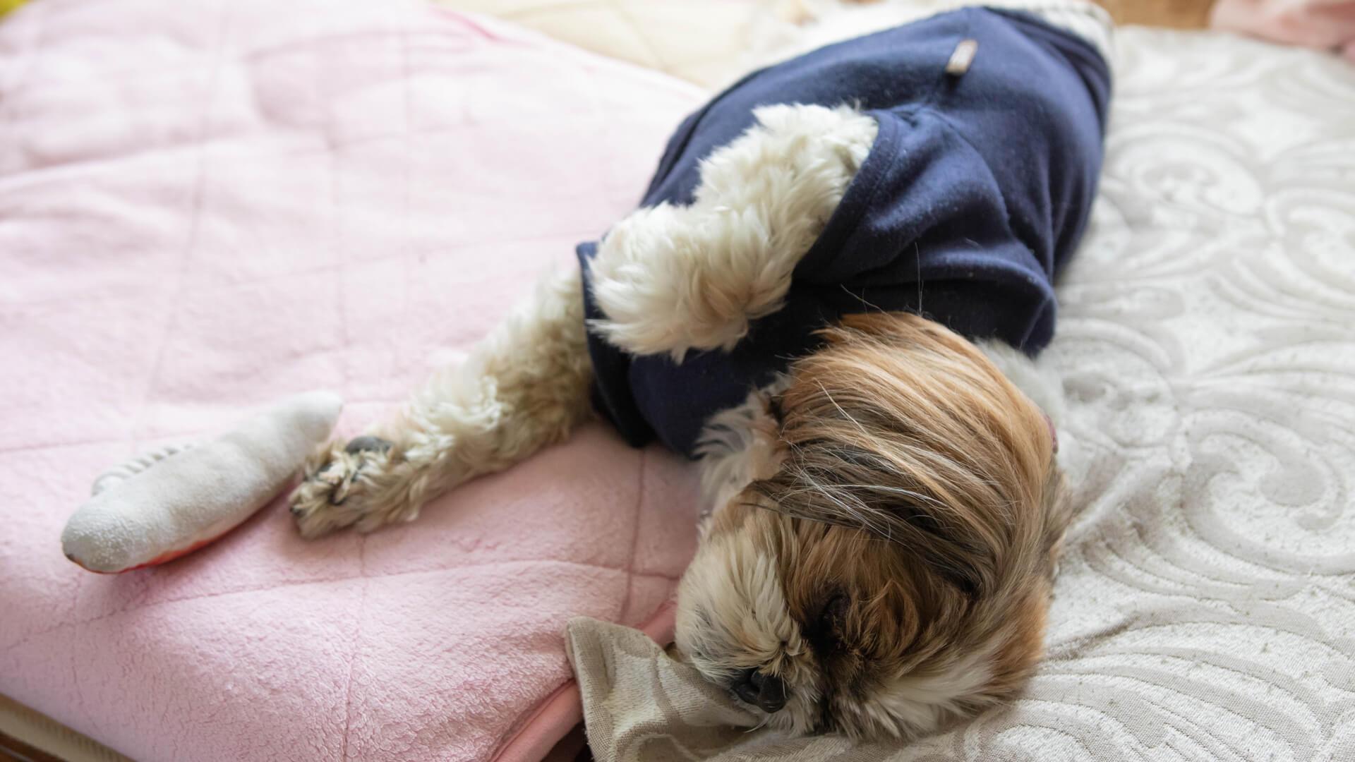 犬服を着て寝る愛犬イメージ3