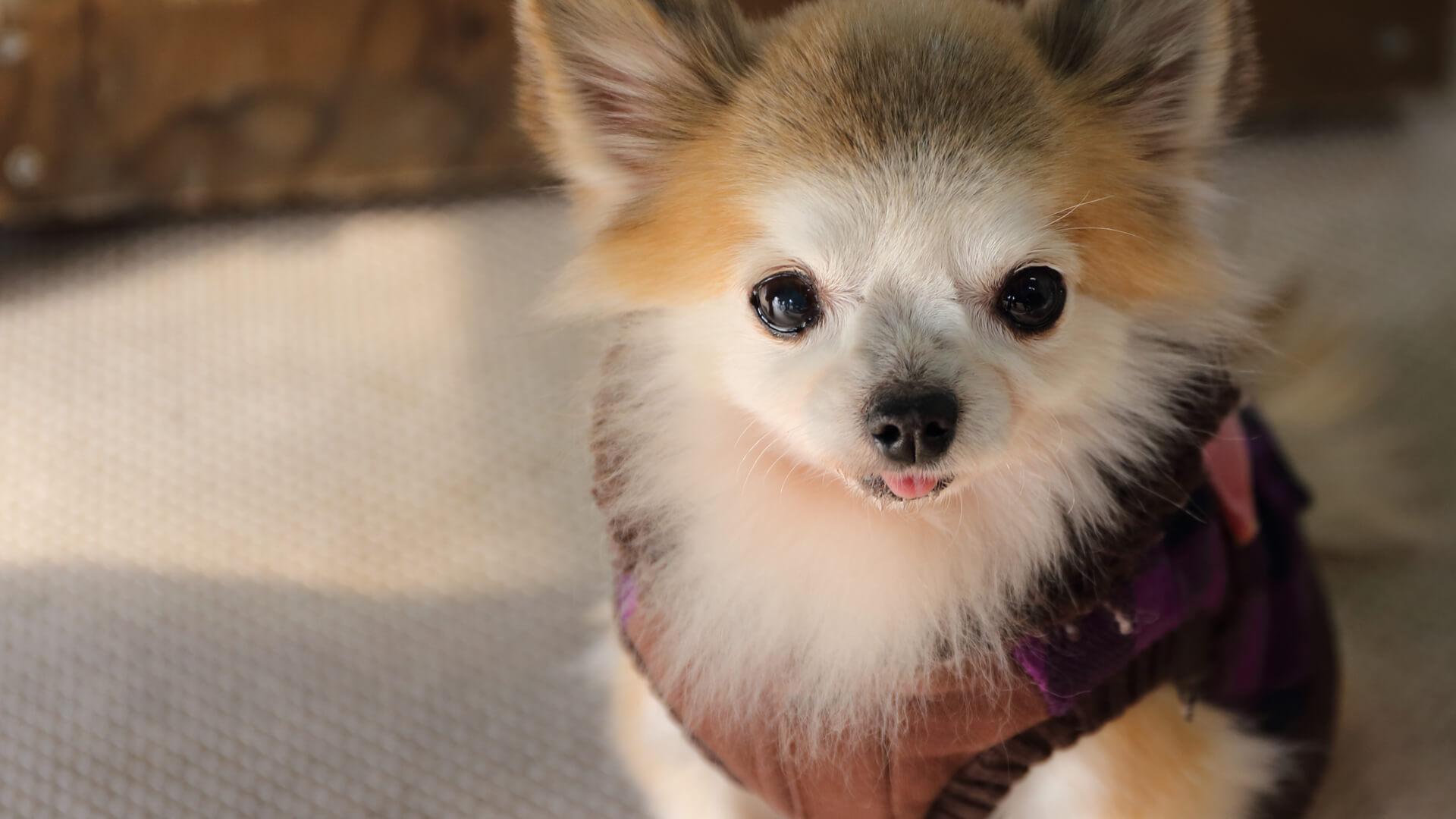 犬服を着る子犬イメージ